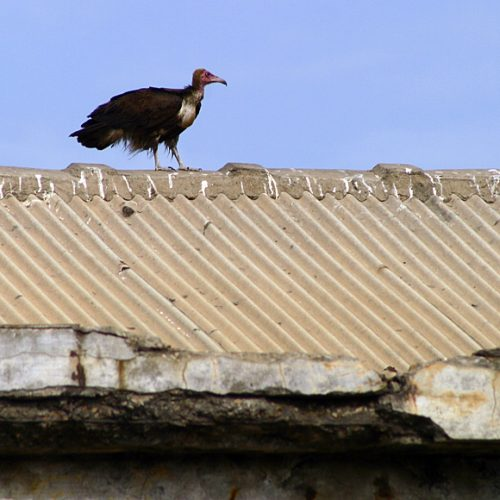 Vulture at Boxing Gym Ghana