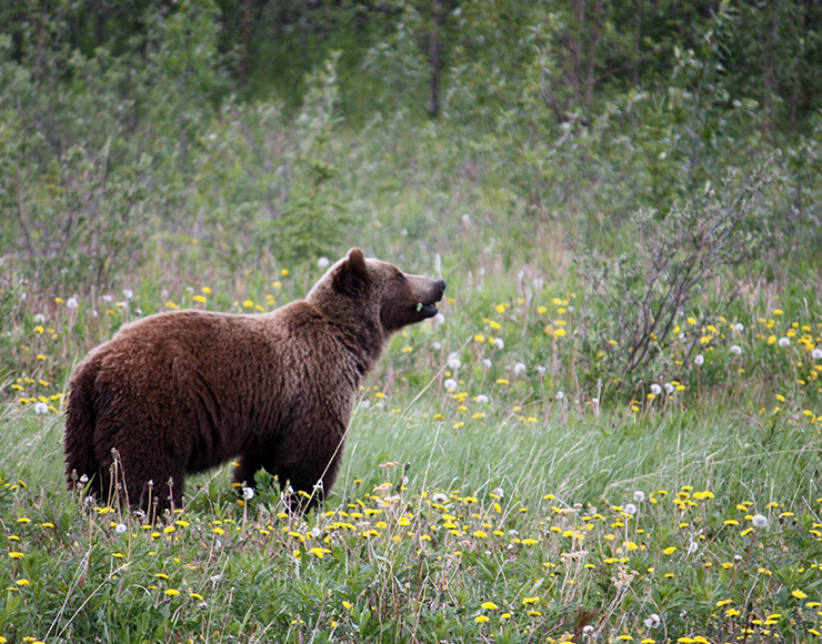Grizzly Bear Canada