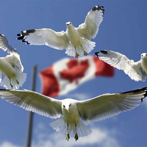 Canadian Flag with Sea Gulls