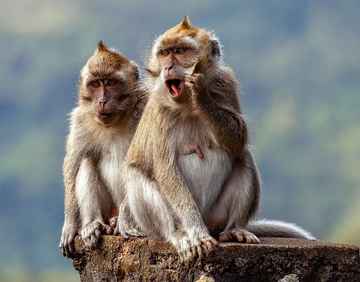 Pair of Long Tailed Macaque in Mauritius