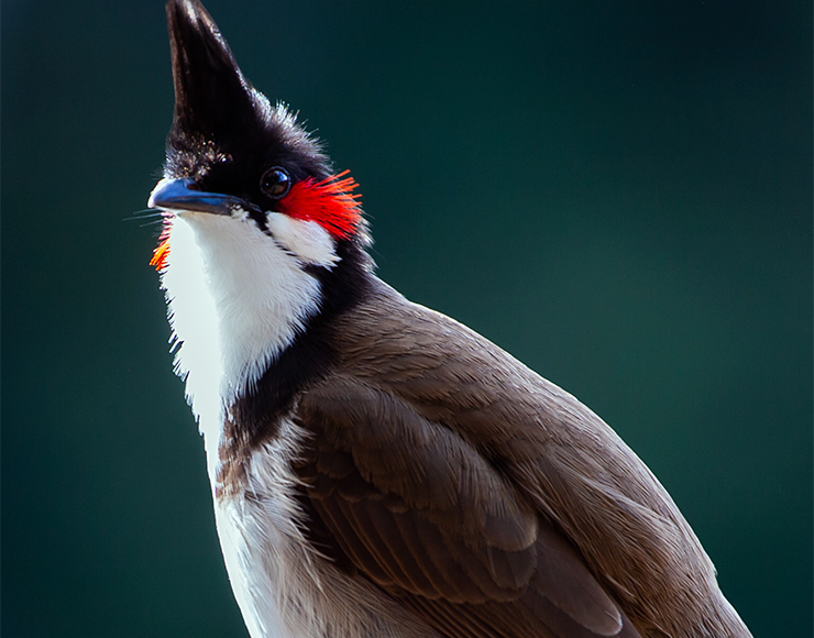 Red Whiskered Bulbul Mauritius