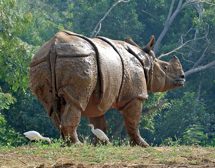 Greater One-Horned Rhino India