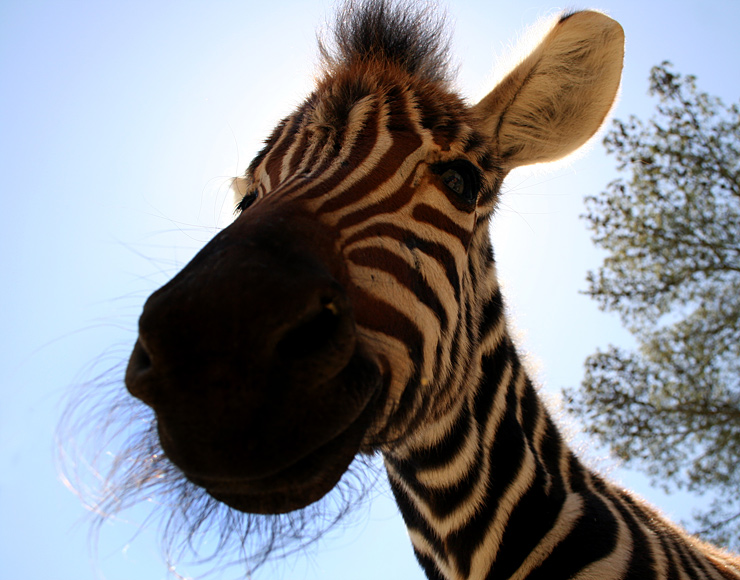 Young Zebra in South Africa