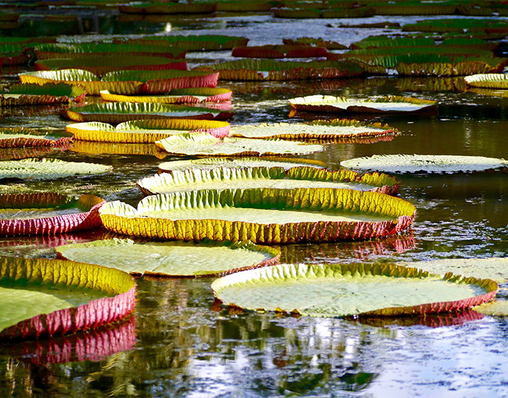 Giant Lily Pads in Botanical Garden Mauritius